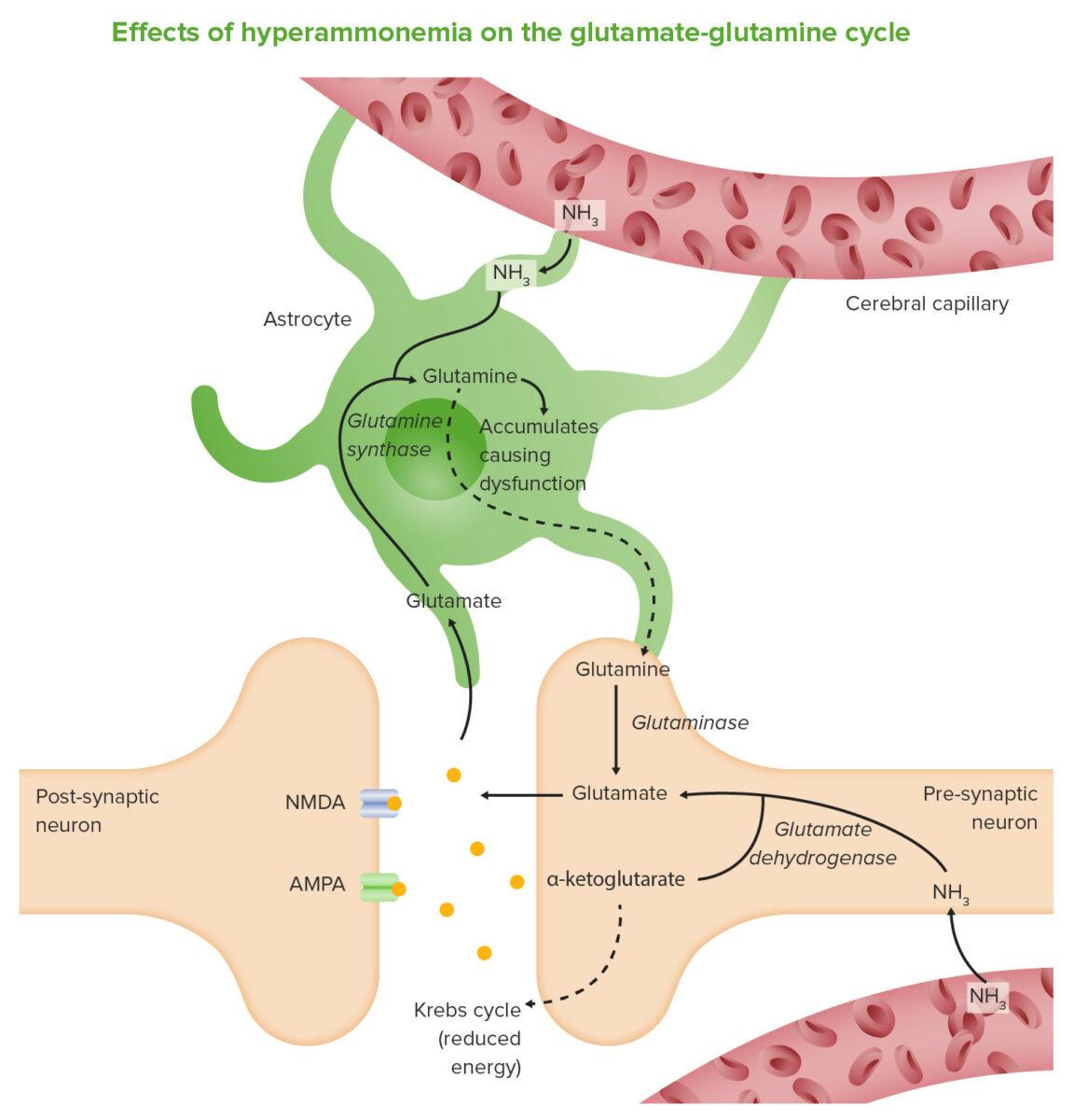 Effects of hyperammonemia on the glutamate-glutamine cycle