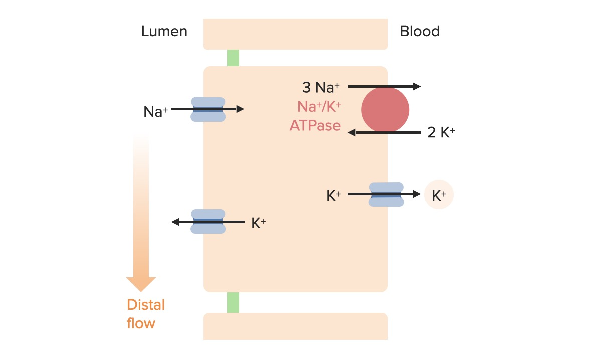 Effects of tubular flow rate on potassium excretion