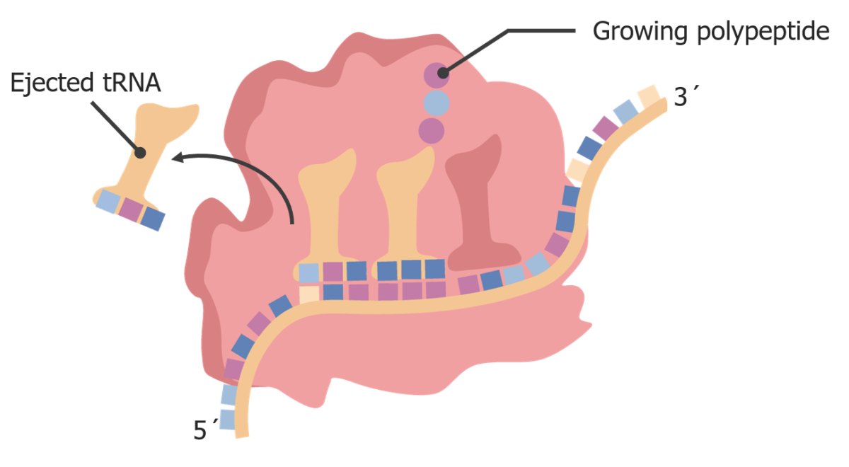 Ejection of tRNA
