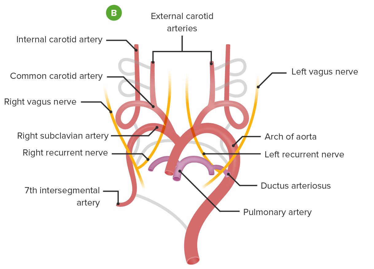 Embryological formation of the aortic arch transformation