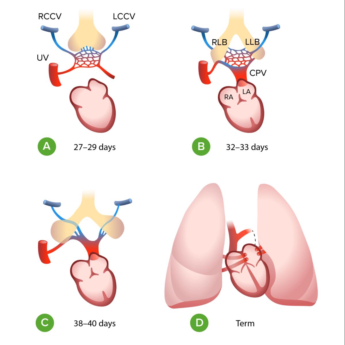 Embryology of TAPVR