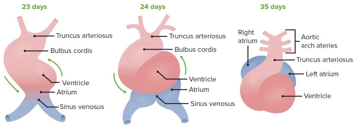 Embryonic Development of the Heart