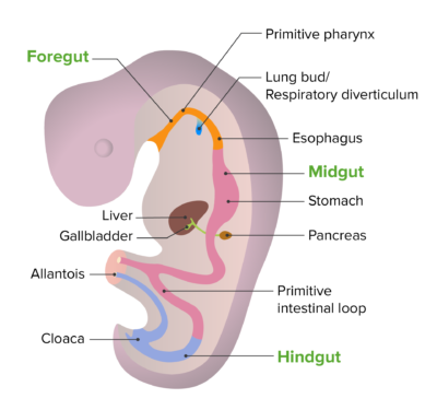 Embryonic development of the gut tube