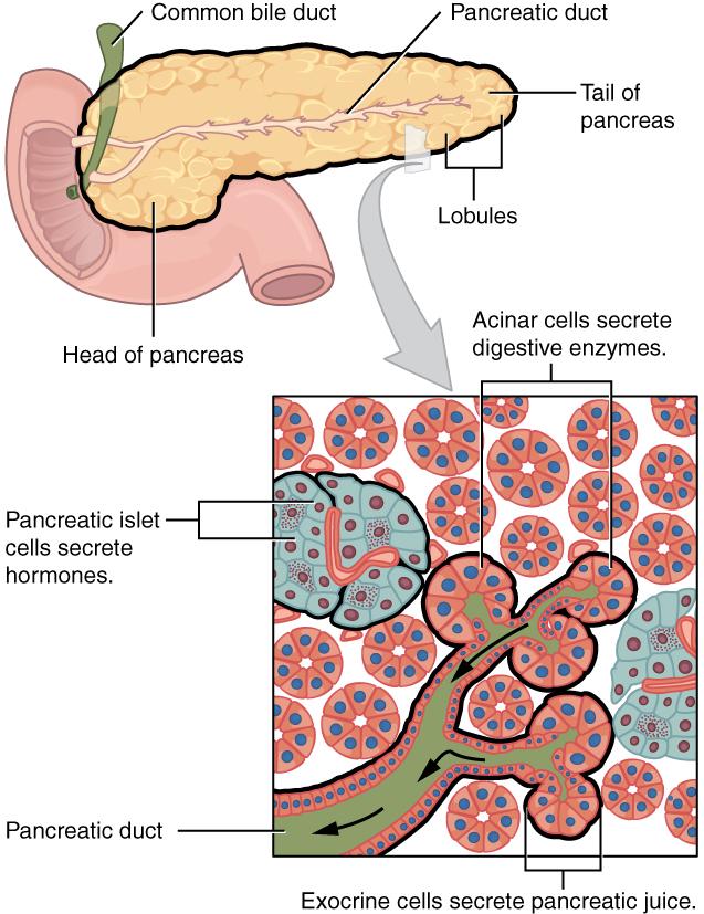 Endocrine cells and exocrine acinar cells in pancreas