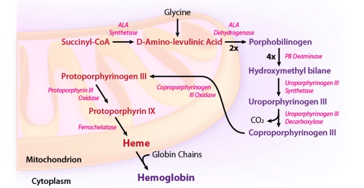 Enzymatic pathway of heme synthesis