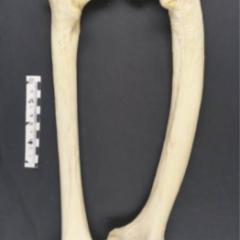 Pagetic human femur