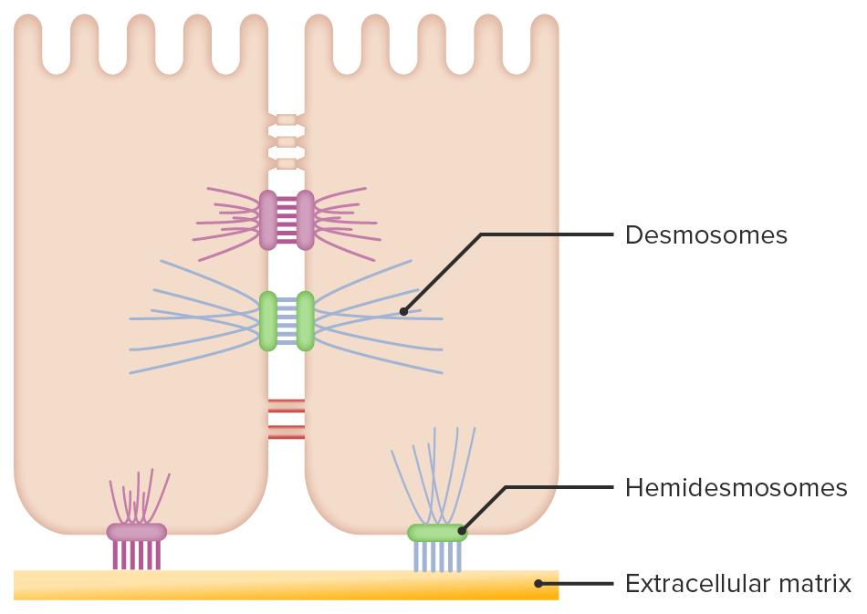 Epidermal keratinocyte connections