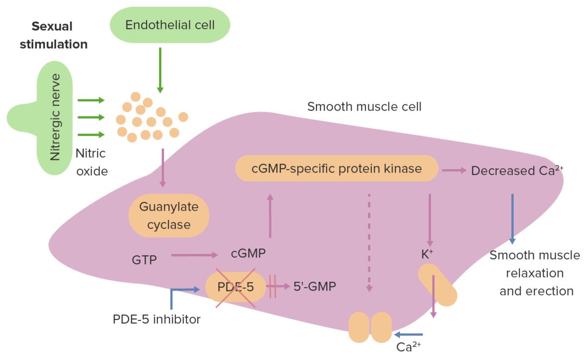 Erectile dysfunction pathogenesis