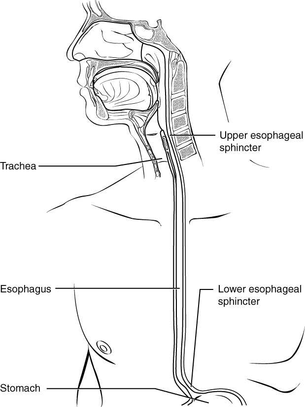 Esophagus from side