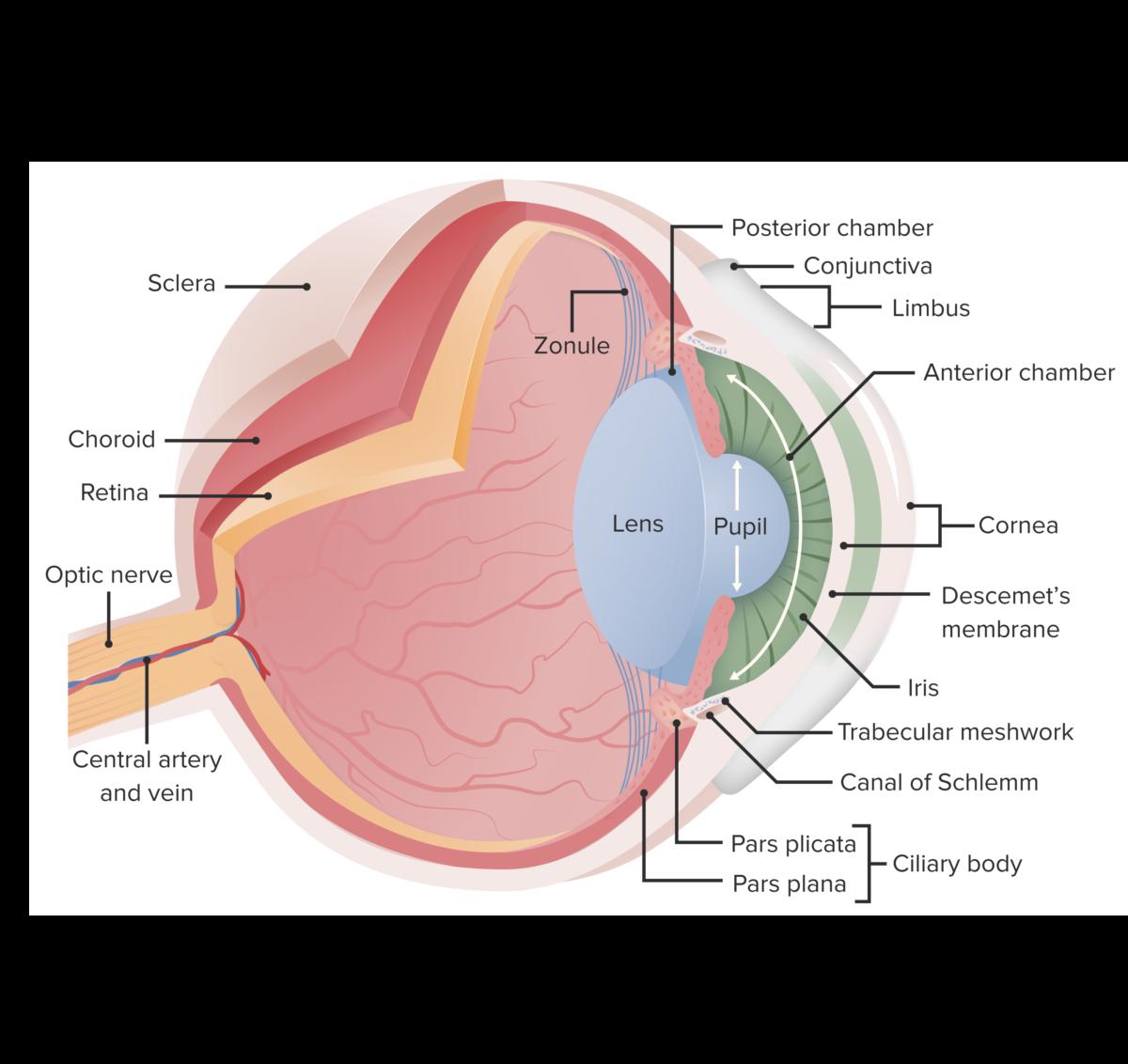 Essential anatomy of the eye diagram