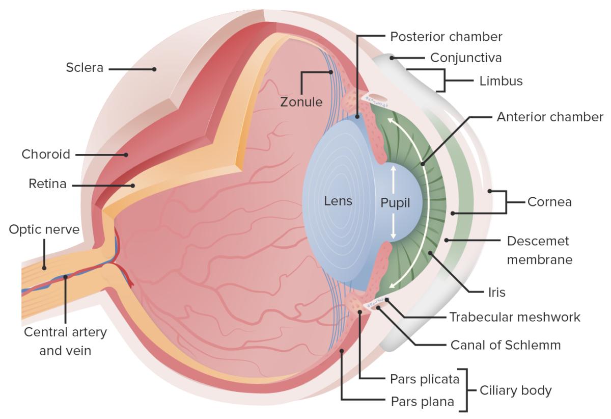 Essential anatomy of the eye illustration