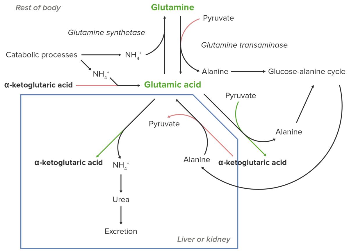 Essential role of glutamate