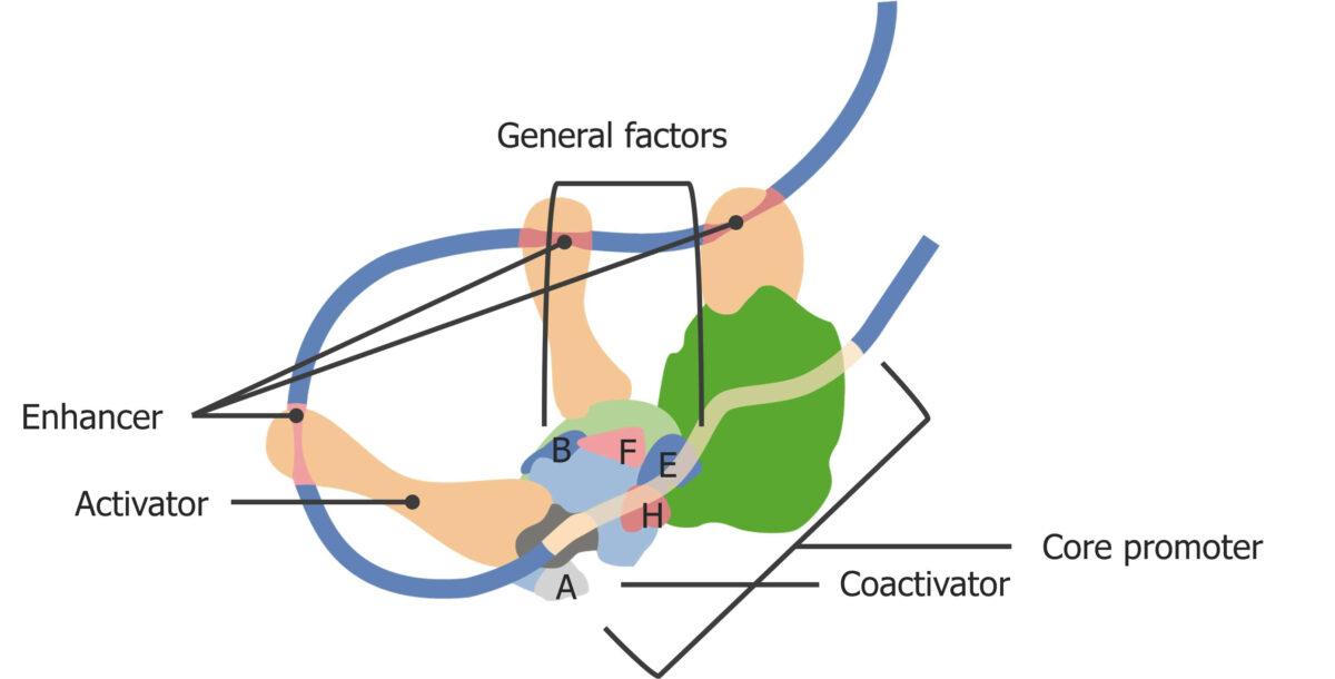Eukaryotic transcription initiation complex