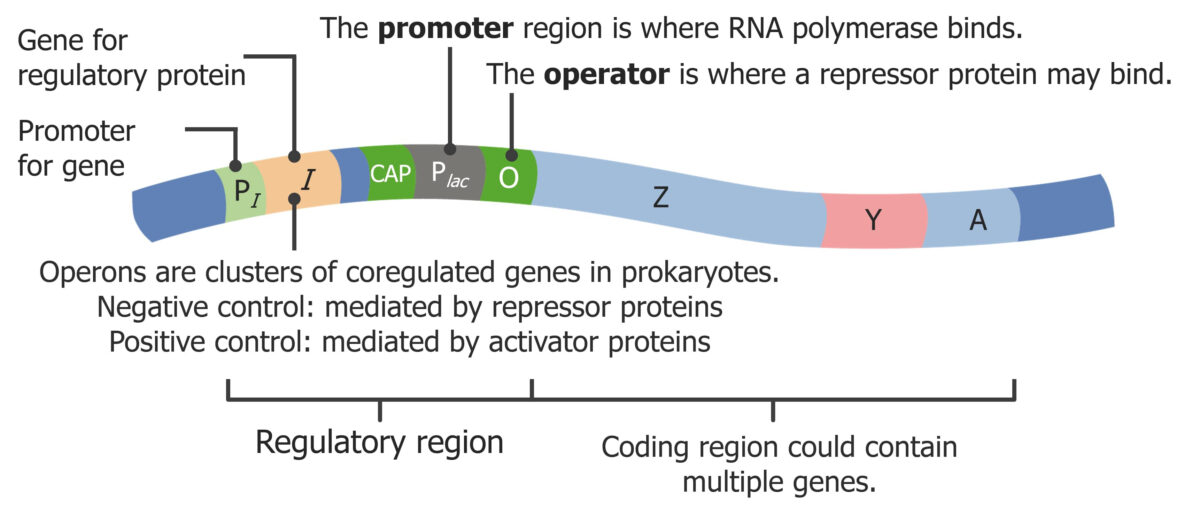 Example of a prokaryotic operon
