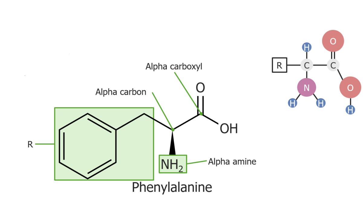 Example of the amino acid phenylalanine