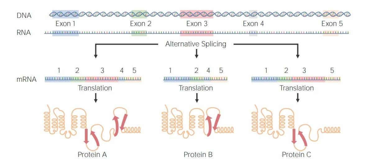 Examples of alternative splicing