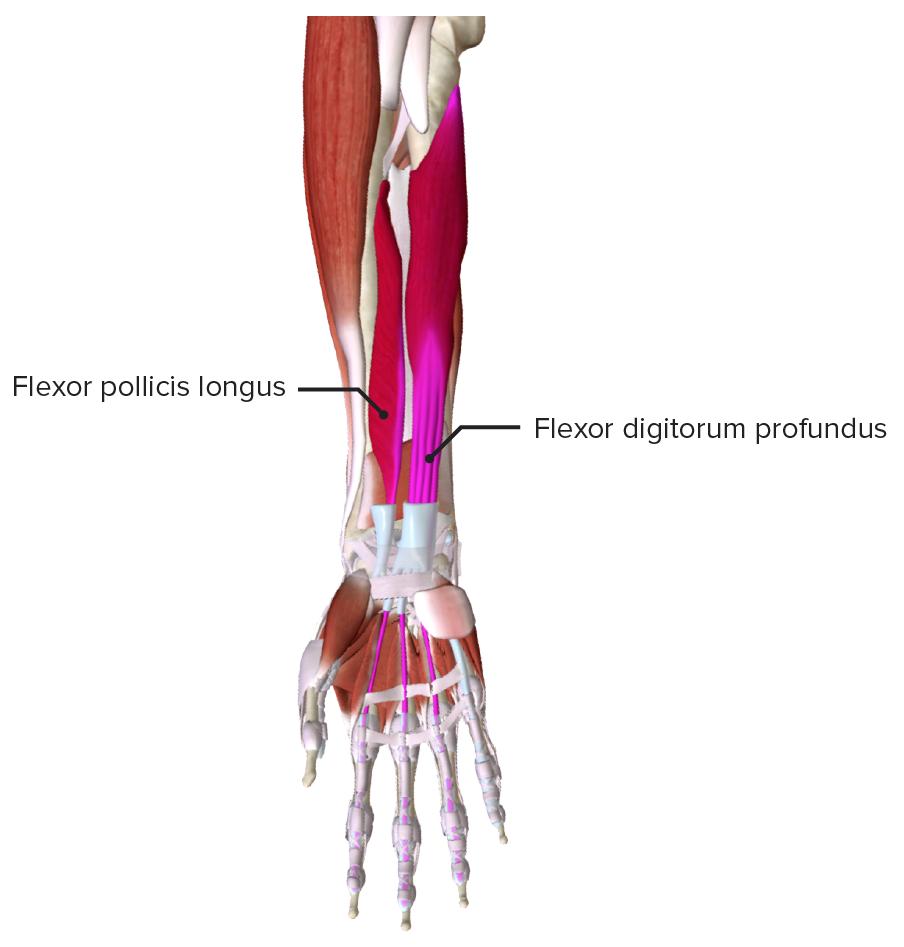Extrinsic Flexor Muscles of the Hand - Deep layer