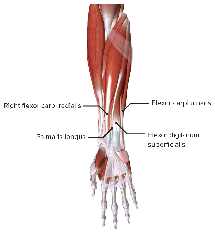 Extrinsic Flexor Muscles of the hand - Superficial layer
