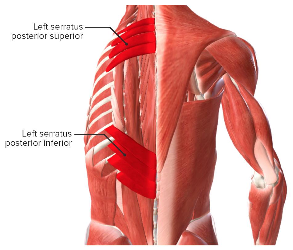 Extrinsic back muscles - Intermediate muscles biodigital
