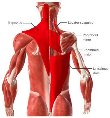 Extrinsic back muscles - Superficial muscles Biodigital
