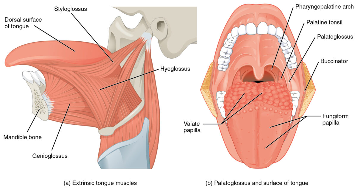 Extrinsic muscles of the tongue