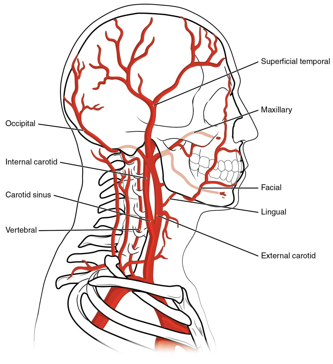 Facial artery branching off the external carotid artery