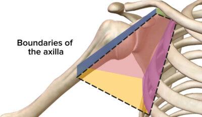 Featured image axilla and brachial plexus