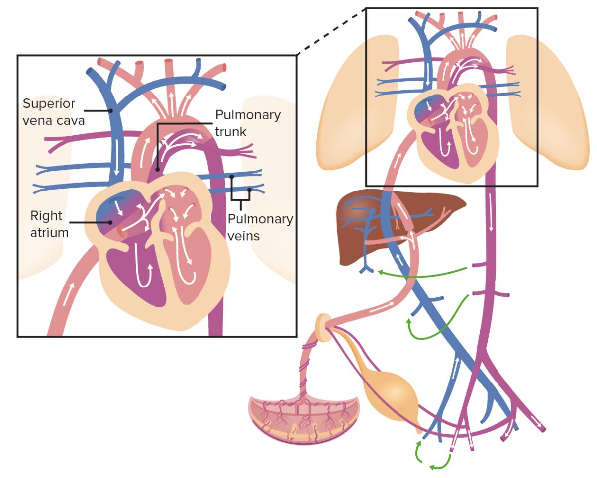 Fetal circulation Heart