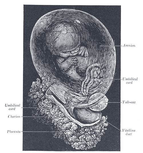 Fetus of about 8 weeks, enclosed in the amnion