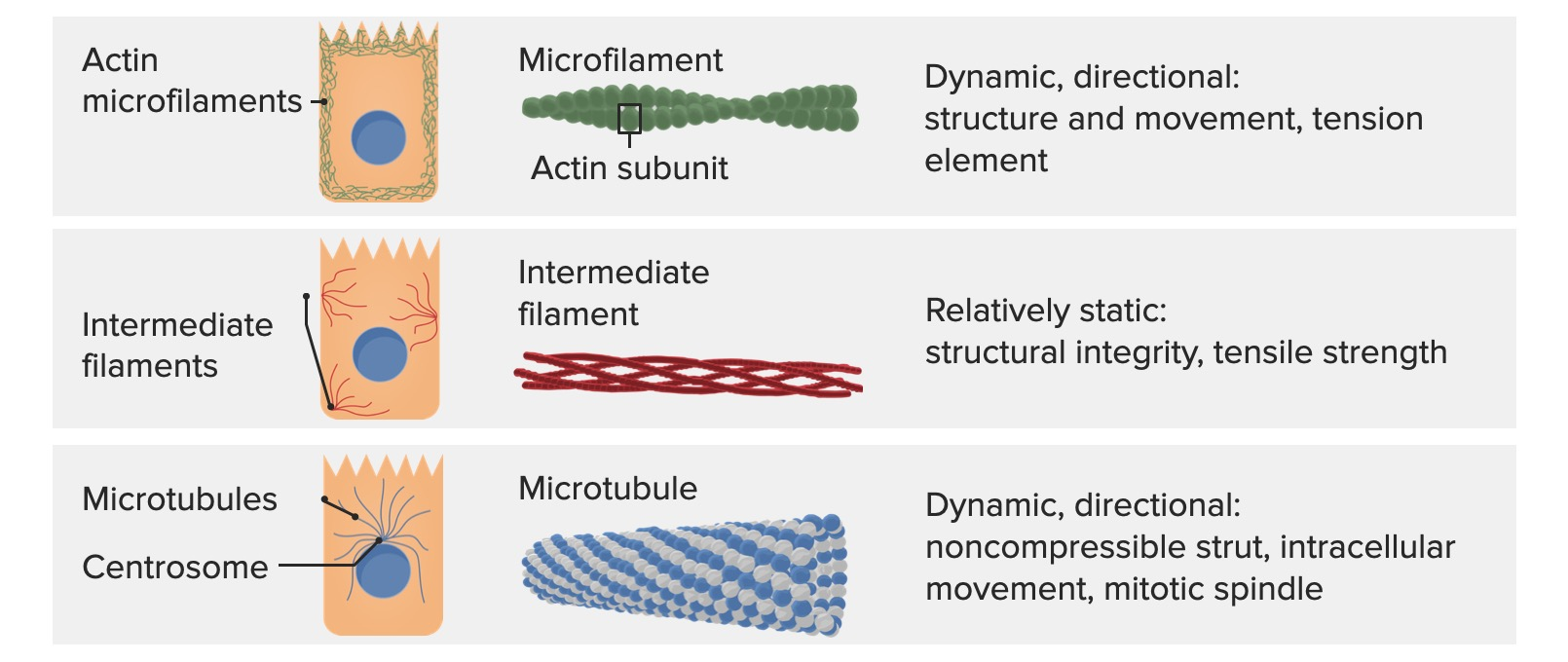 Fibers that comprise the cytoskeleton