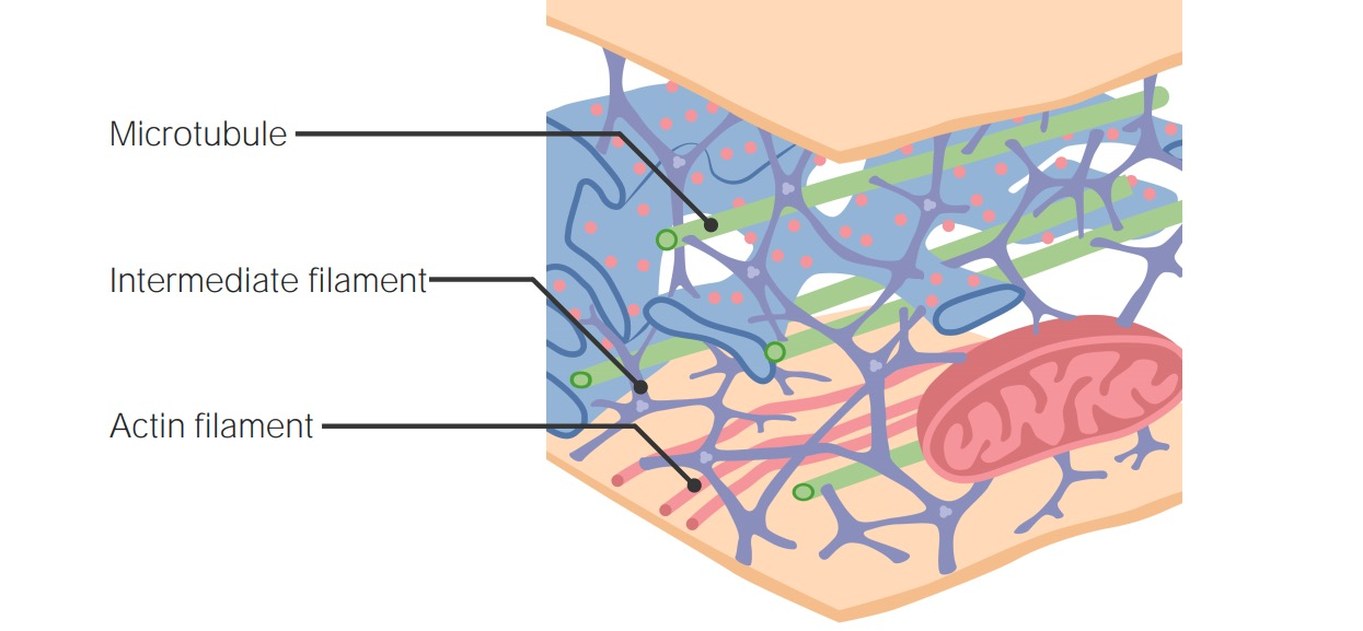 Filaments of the cytoskeleton