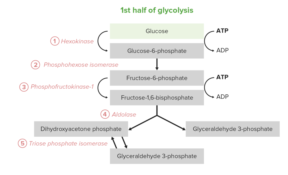 First half of glycolysis