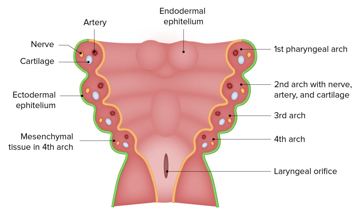 First pharyngeal arch