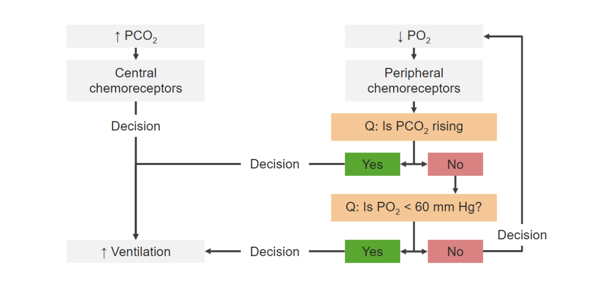 Flowchart blood gases Chemoreceptors Respiratory regulation
