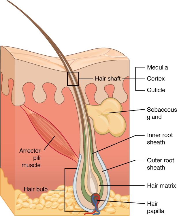 Follicular pilosebaceous units and sebaceous gland duct