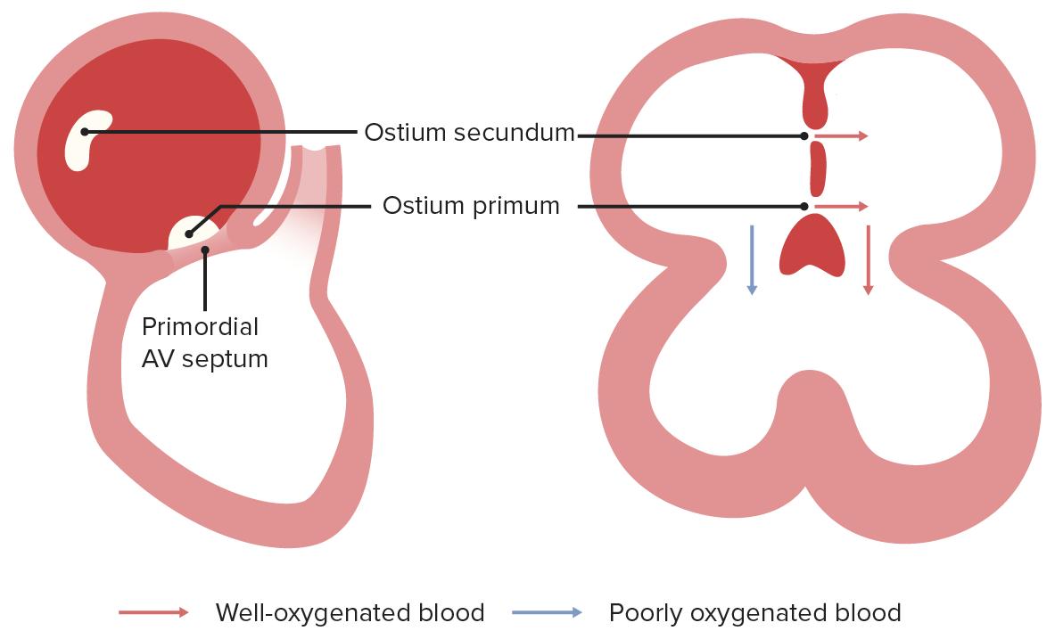 Foramen primum and secundum blood delivery diagram
