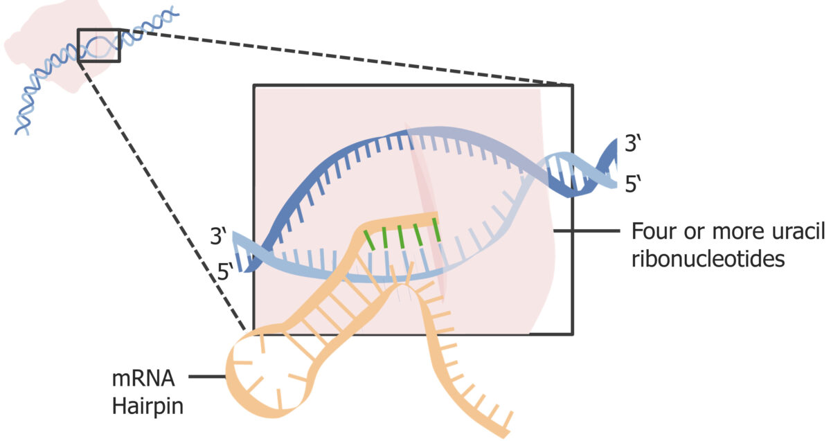 Formation of a hairpin structure at the end of transcription