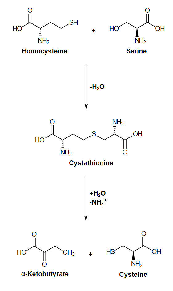 Formation of cysteine from serine and homocysteine