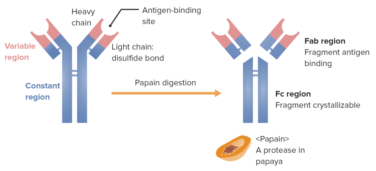 Fragments of the immunoglobulin