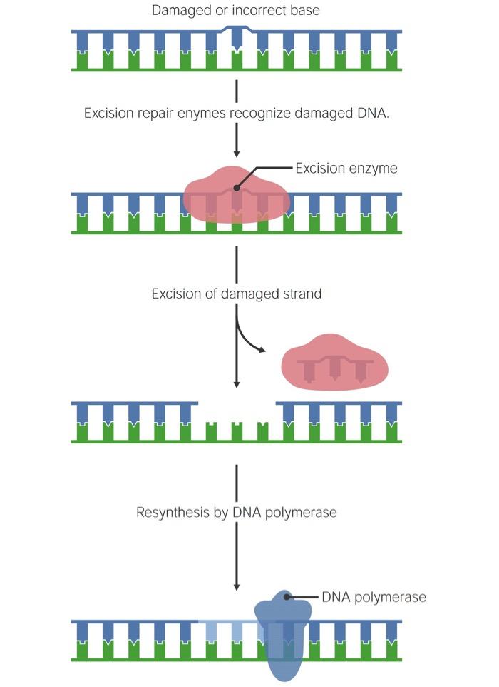 General mechanism of single-stranded DNA repair