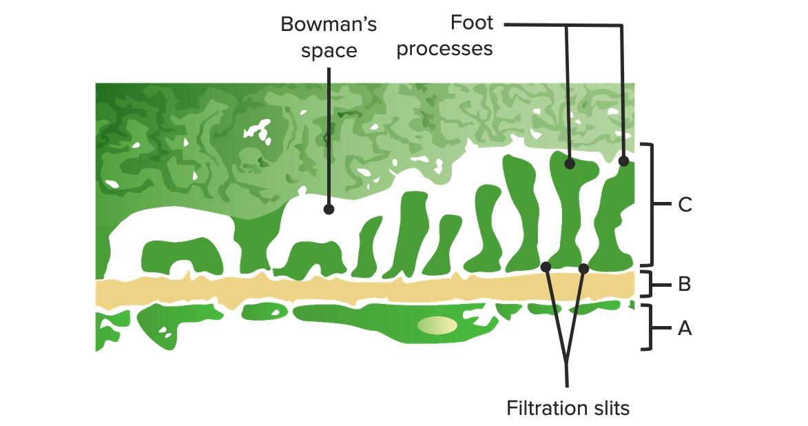 Glomerular barrier