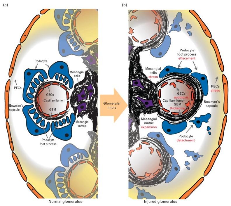 Glomerulus in health and disease