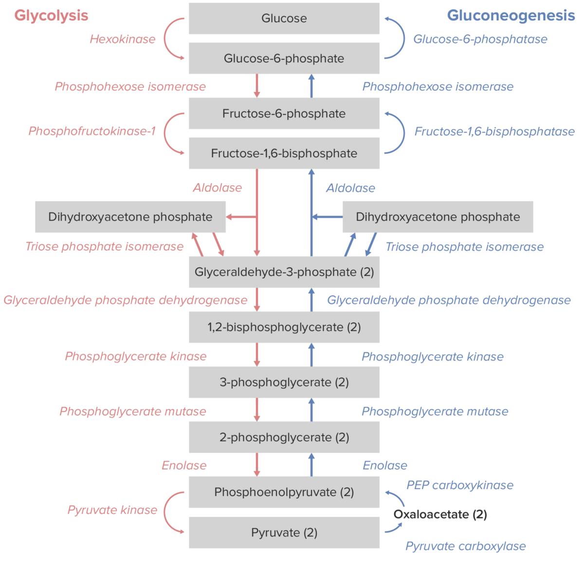Gluconeogenesis Glycolysis