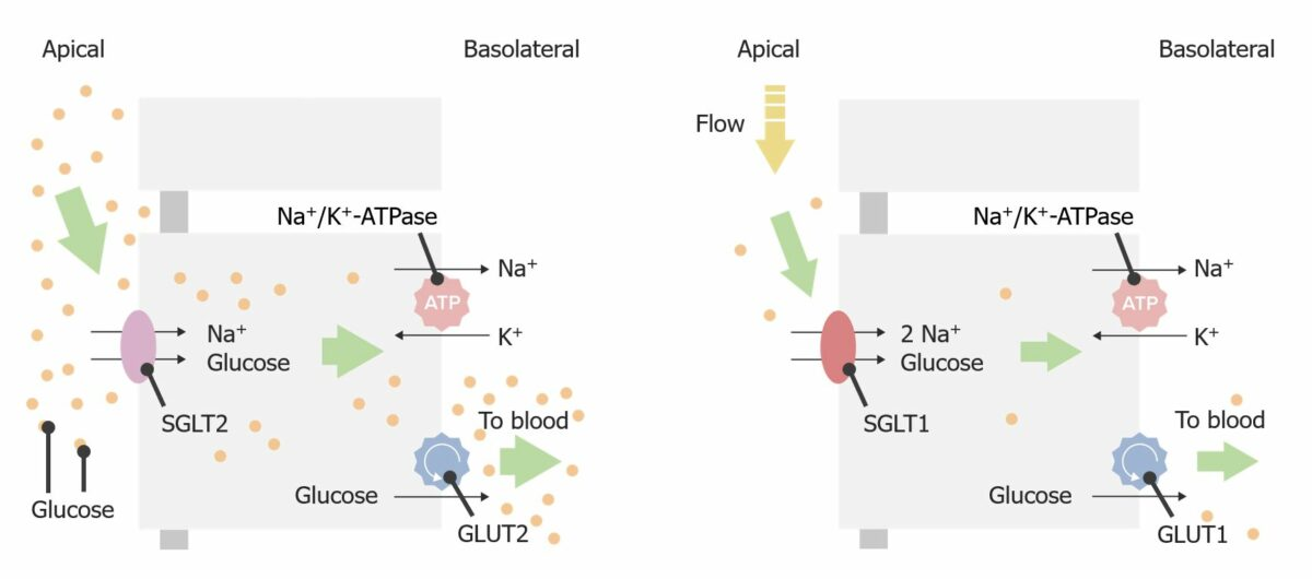 Glucose transport in the proximal tubule