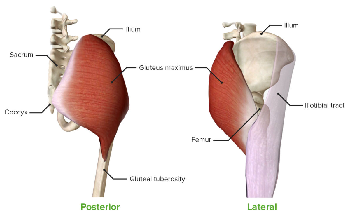 Gluteus maximus muscle lateral and posterior view