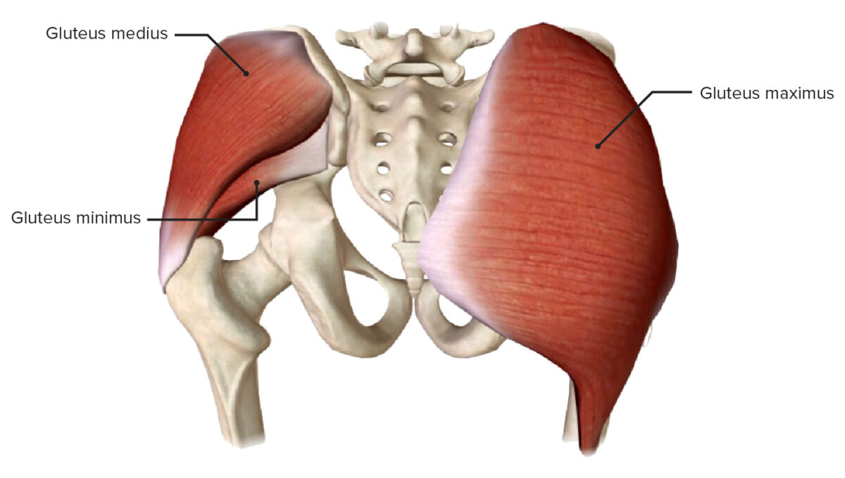 Gluteus muscles