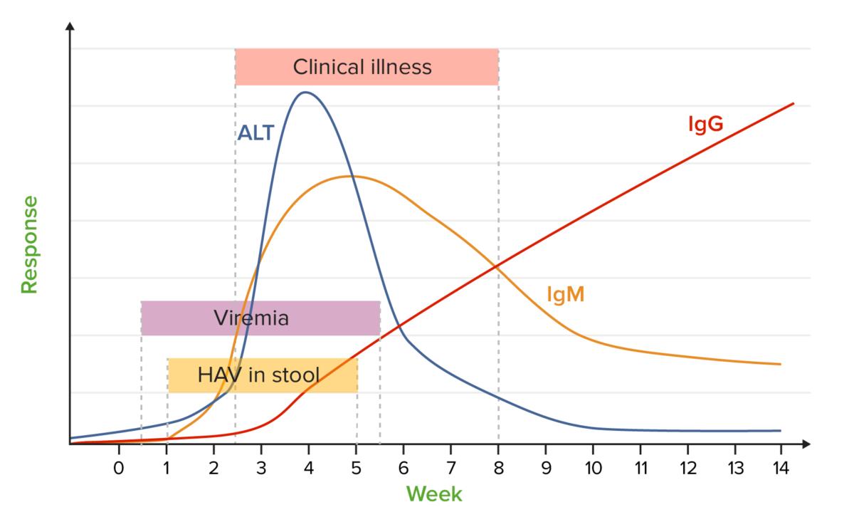 HAV antibodies chart