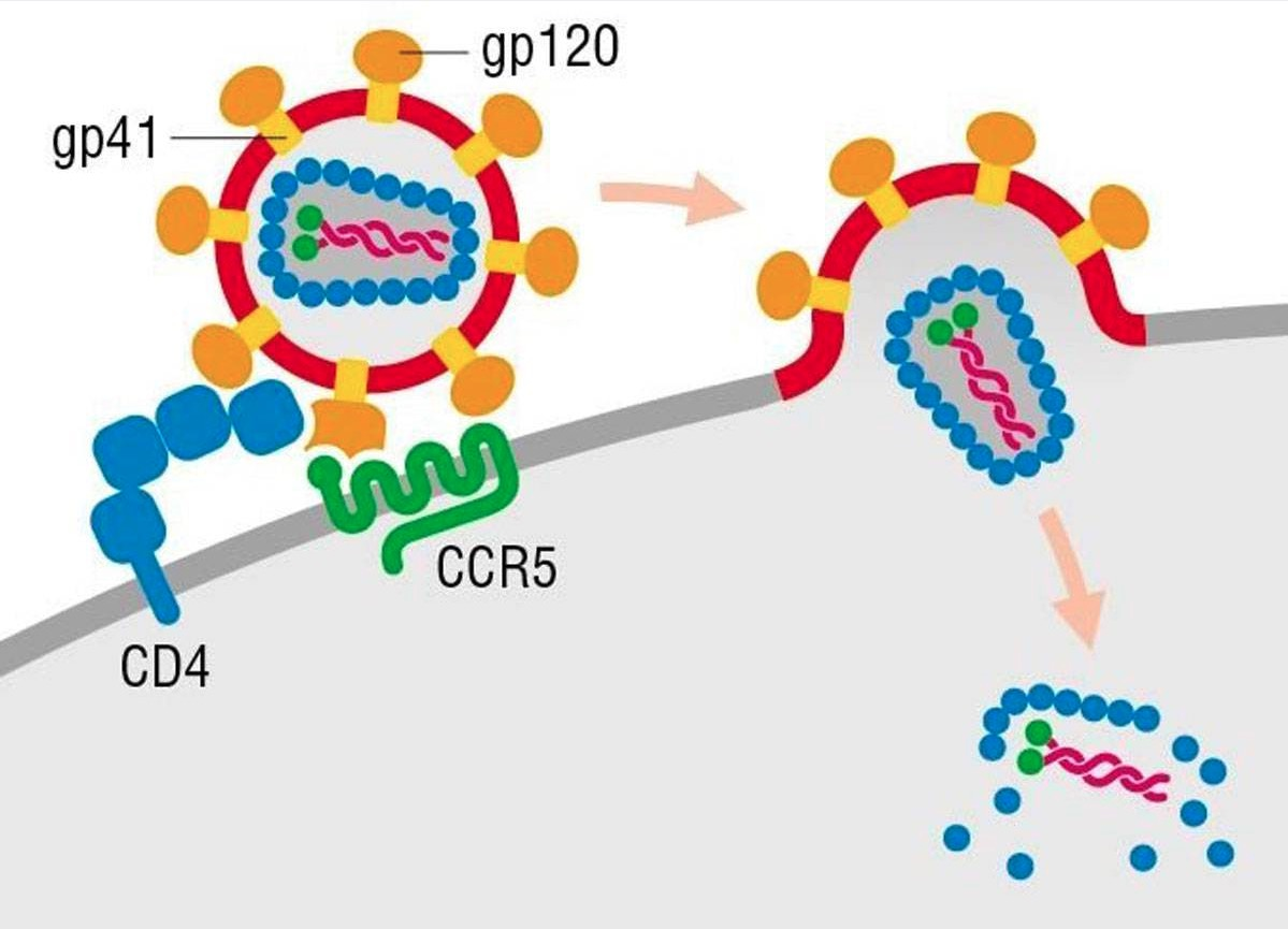 HIV entry into a host cell