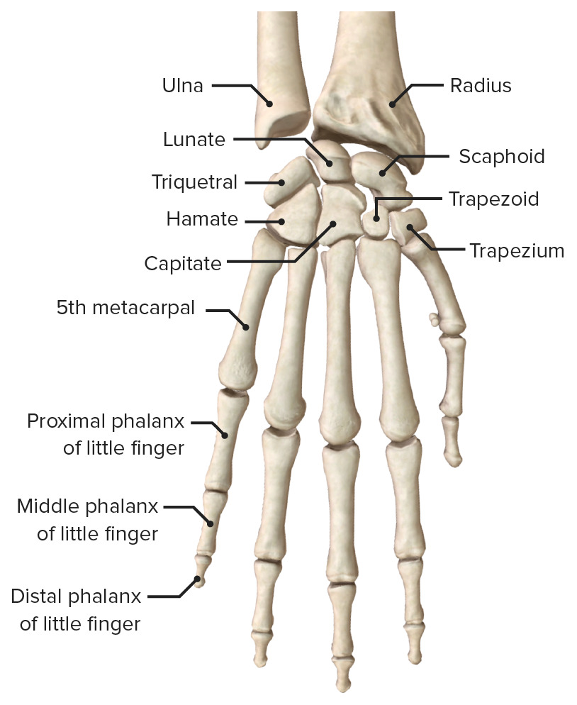 Hand posterior view