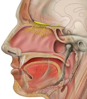 Head anatomy with olfactory nerve